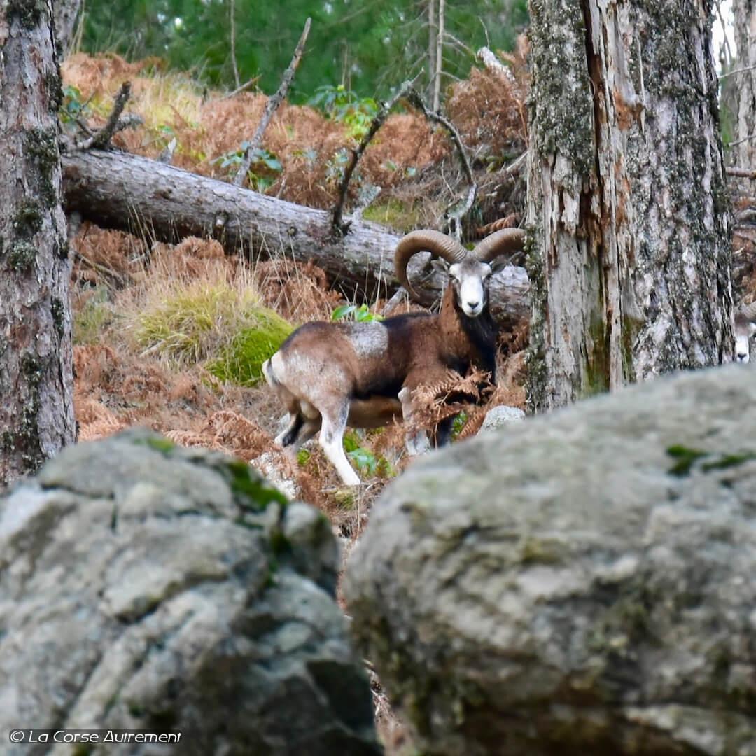 mouflon bavella